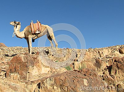 camel on top of the mountain