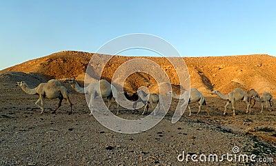 Camel Train in the Desert outside Riyadh, Kingdom of Saudi Arabia Stock Photo