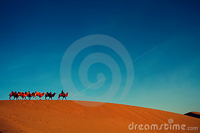 Camel troop alone in the desert