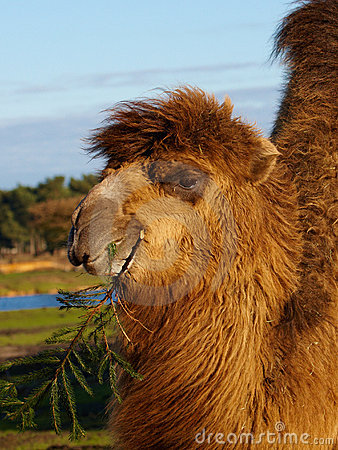 Camel with a twig in its beak
