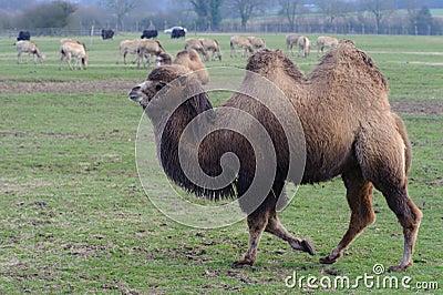 Camel walking in zoo