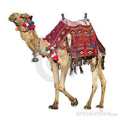 Free Camel With Colorful Saddle Stock Images - 19042144