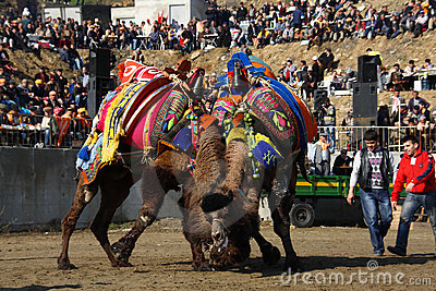 Camel wrestling Editorial Stock Image