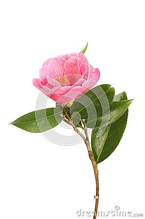 Free Camellia Royalty Free Stock Photos - 51684508