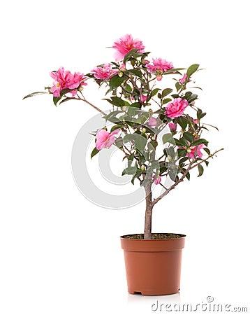 Free Camellia Flower Stock Photo - 22079210