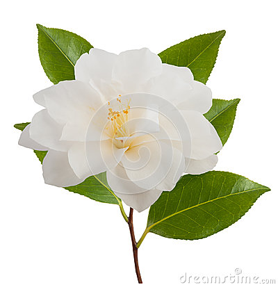 Free Camellia Flower Royalty Free Stock Photography - 53010517