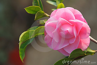 Camellia flower - Japanese rose