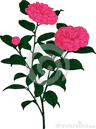 Pink Camellia flower. Vector