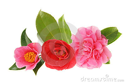 Camellia group