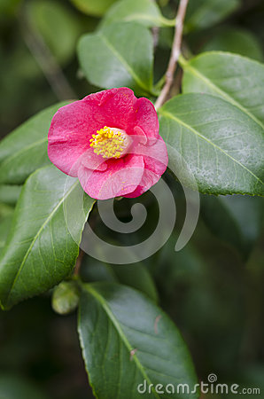 Free Camellia Japonica Front View Royalty Free Stock Photos - 28532998
