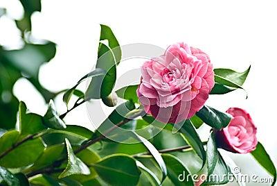 Camellia over white