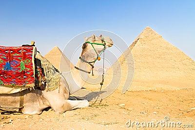 Camello en los pyramides de Giza, El Cairo, Egipto.