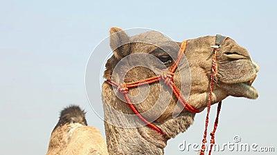 Camelo filme