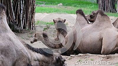 Camelo bactriano Escala geográfica: Sua população de dois milhões existe principalmente no formulário domesticado, camelos selvag video estoque