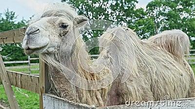 Camelo branco cortado em prado aberto com prado video estoque