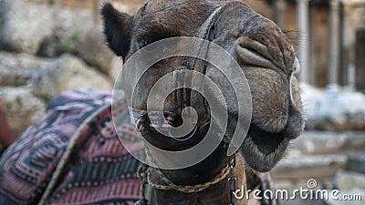 Camelo cansado que senta-se na areia vídeos de arquivo