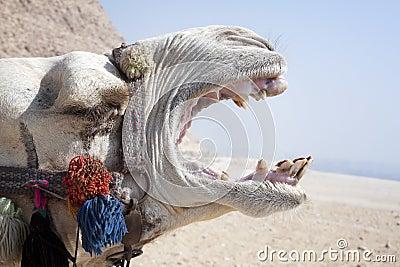 Camelo gritando