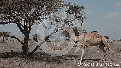 Camelo selvagem video estoque