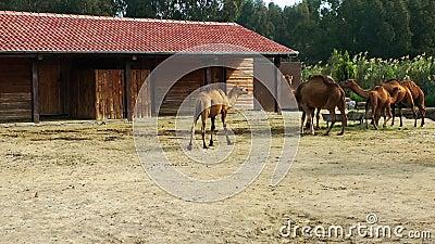 Camelos vídeos de arquivo