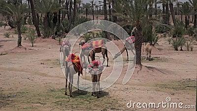camelos em Marrocos, c4marraquexe video estoque