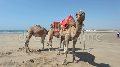 Camelos na praia em Marrocos vídeos de arquivo