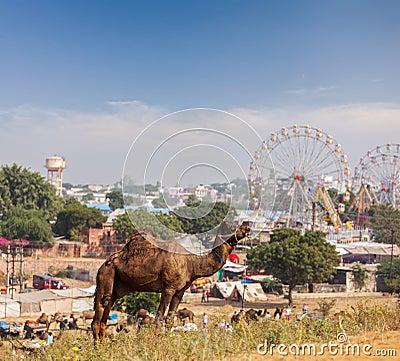 Free Camels At Pushkar Mela (Pushkar Camel Fair),  India Stock Photos - 34466473