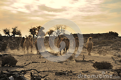 Camels in autumn  desert