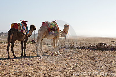 Camels in beach
