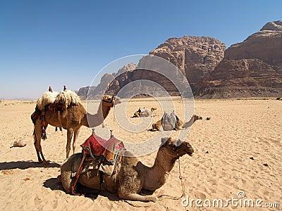 Camels on the Desert
