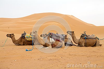 Camels and desert dunes