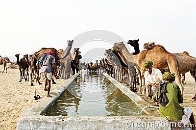Camels drinking, Pushkar India Editorial Stock Image