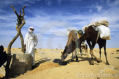 Camels drinking Editorial Stock Image