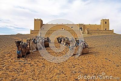Camels in the Erg Chebbi Desert, Morocco