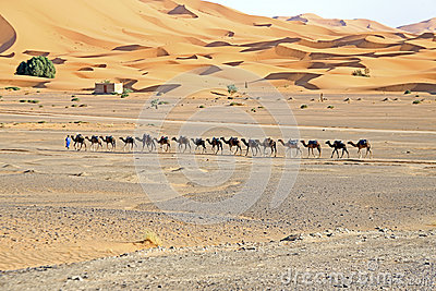 Camels in the Erg Chebbi Desert, Morocco