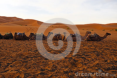 Camels in the Erg Chebbi desert Morocco Africa
