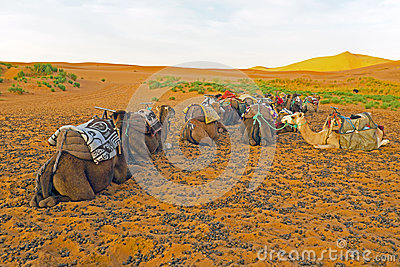 Camels in the Erg Chebbi desert in Morocco
