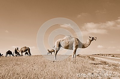 Camels in the field