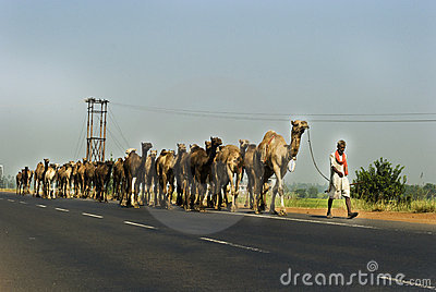Camels on highway in India Editorial Photo