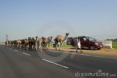 Camels on highway in India Editorial Stock Photo
