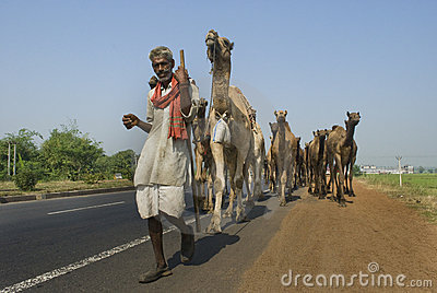 Camels on highway in India Editorial Stock Image