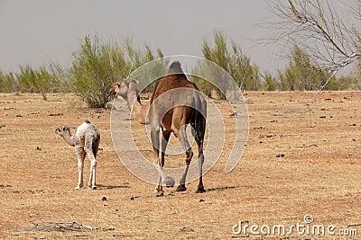 Camels in hte desert