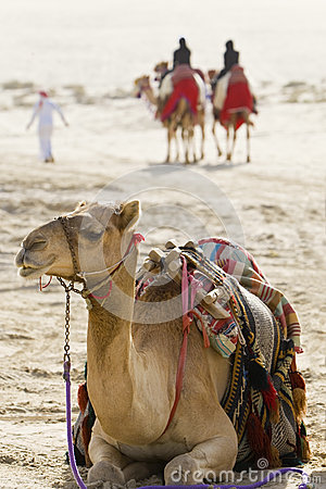 Free Camels In An Arabian Desert Royalty Free Stock Photography - 9978247