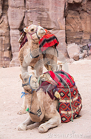 Free Camels In Petra Jordan Stock Photo - 42900850