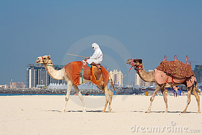 Camels on Jumeirah Beach, Dubai