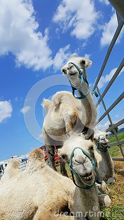 Free Camels Lie On The Grass In Nature Stock Photos - 132565033