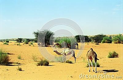 Camels, Mauritania