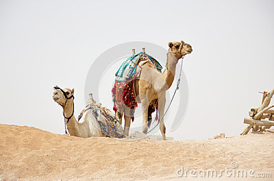 Camels in nature