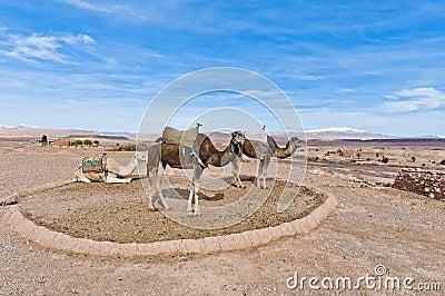 Camels near Ait Ben Haddou, Morocco