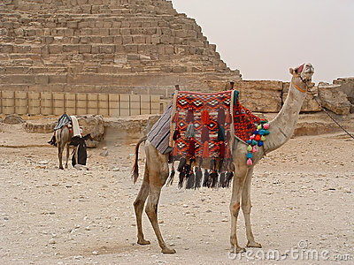 Camels near to Chefren pyramid