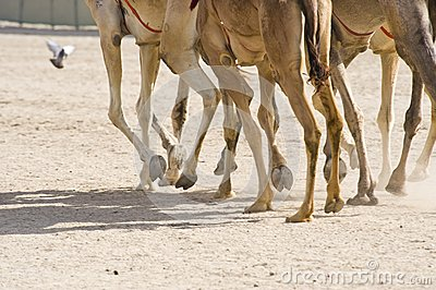 Camels At The Races Stock Photography - Image: 14439112